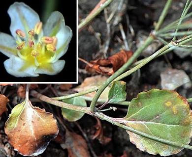 Eriogonum gordonii