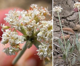 Eriogonum pauciflorum