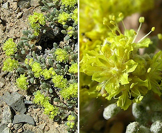 Eriogonum shockleyi