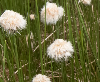 Eriophorum chamissonis