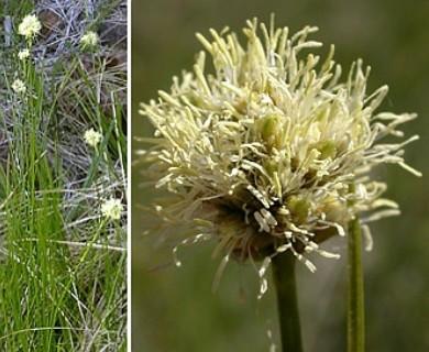 Eriophorum crinigerum