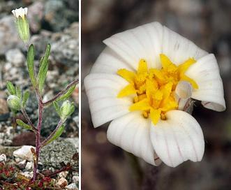Eriophyllum lanosum