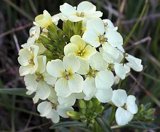 Erysimum franciscanum