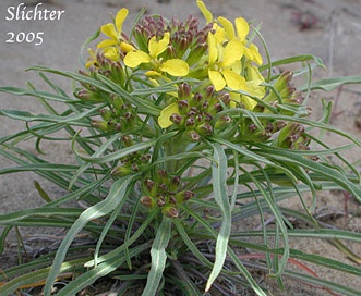 Erysimum occidentale