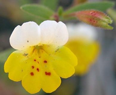 Erythranthe bicolor