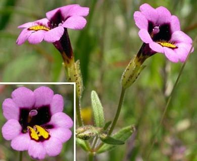Erythranthe filicaulis