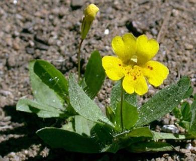 Erythranthe primuloides