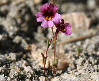 Erythranthe purpurea