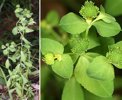 Euphorbia alta