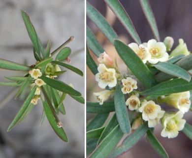 Euphorbia colletioides