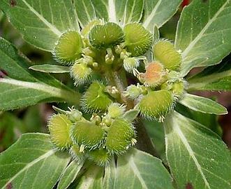 Euphorbia cuphosperma