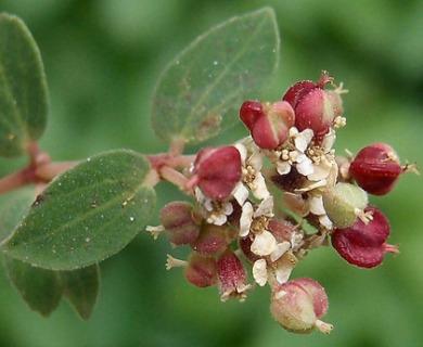 Euphorbia tomentulosa
