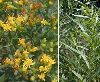 Euthamia gymnospermoides