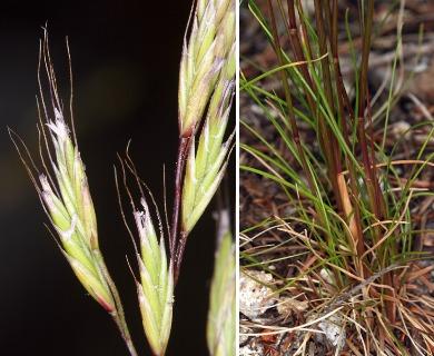 Festuca occidentalis