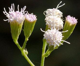 Fleischmannia incarnata
