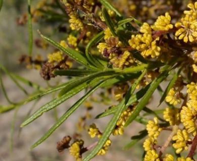 Forchhammeria watsonii