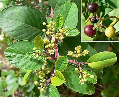Frangula betulifolia