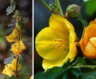 Fremontodendron mexicanum