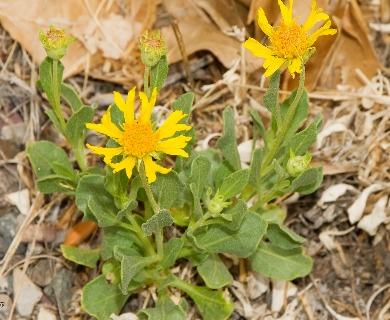 Gaillardia spathulata