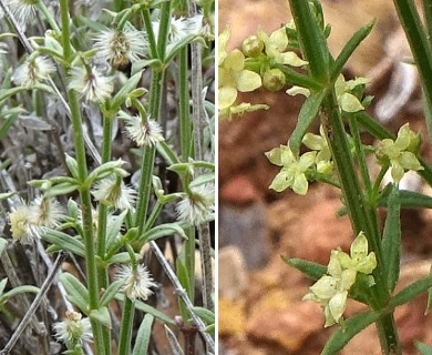 Galium coloradoense