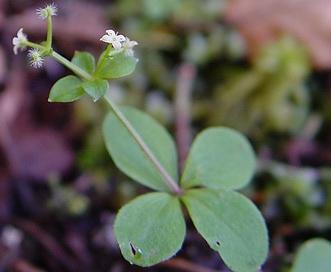 Galium kamtschaticum