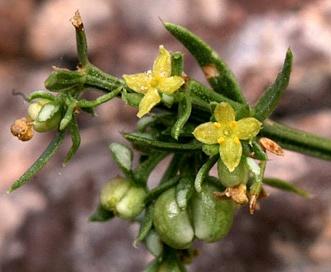 Galium microphyllum