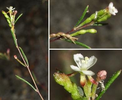 Gayophytum oligospermum