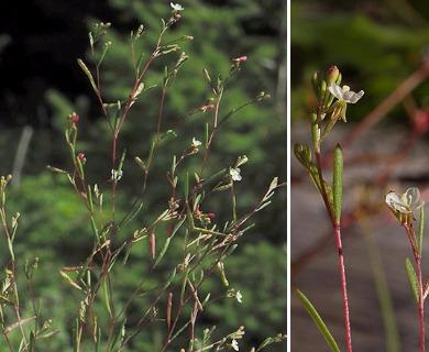Gayophytum ramosissimum