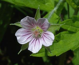 Geranium sibiricum