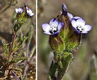 Gilia millefoliata