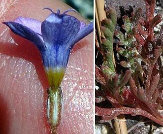 Gilia ochroleuca