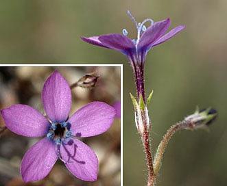 Gilia tenuiflora