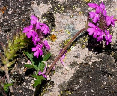 Glandularia elegans