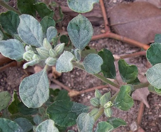 Glinus lotoides