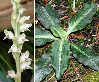 Goodyera oblongifolia