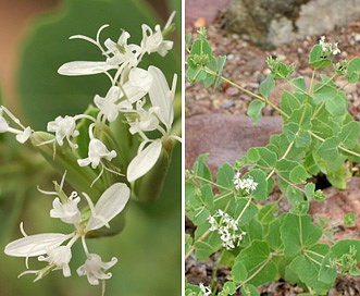 Guardiola platyphylla