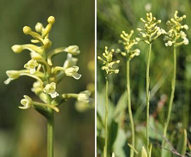 Gymnadeniopsis clavellata