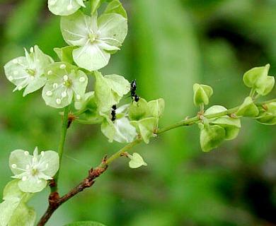 Gymnopodium floribundum