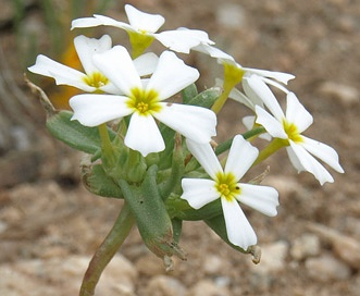 Gymnosteris nudicaulis