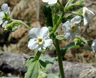 Hackelia californica