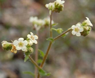 Hackelia hispida