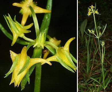 Halenia rothrockii