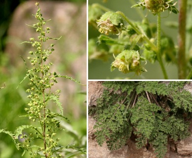 Hedosyne ambrosiifolia