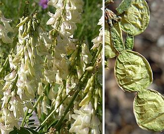 Hedysarum sulphurescens