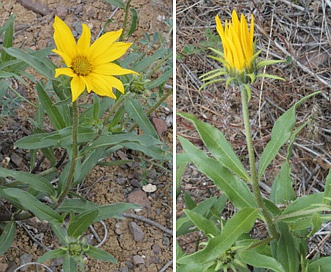 Helianthella uniflora
