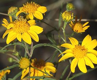 Heliomeris longifolia