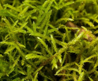 Helodium paludosum