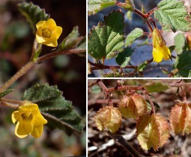 Hermannia pauciflora