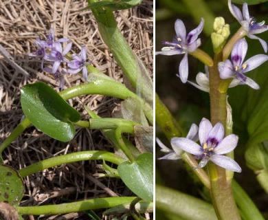 Heteranthera multiflora