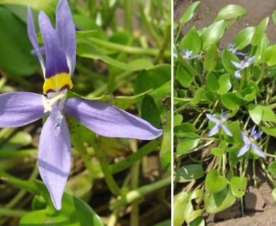 Heteranthera rotundifolia
